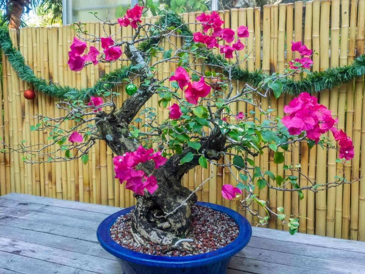 The bougainvillea bonsai has tiny but attractive flowers.