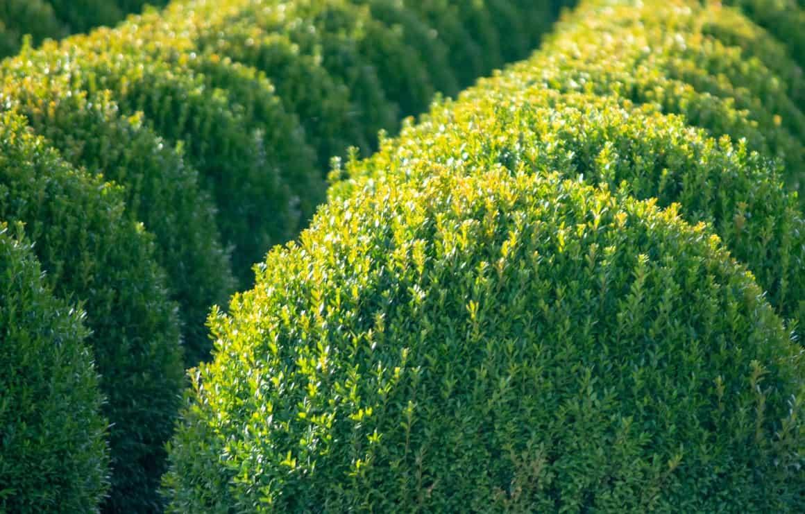 Boxwood shrubs make excellent topiaries.