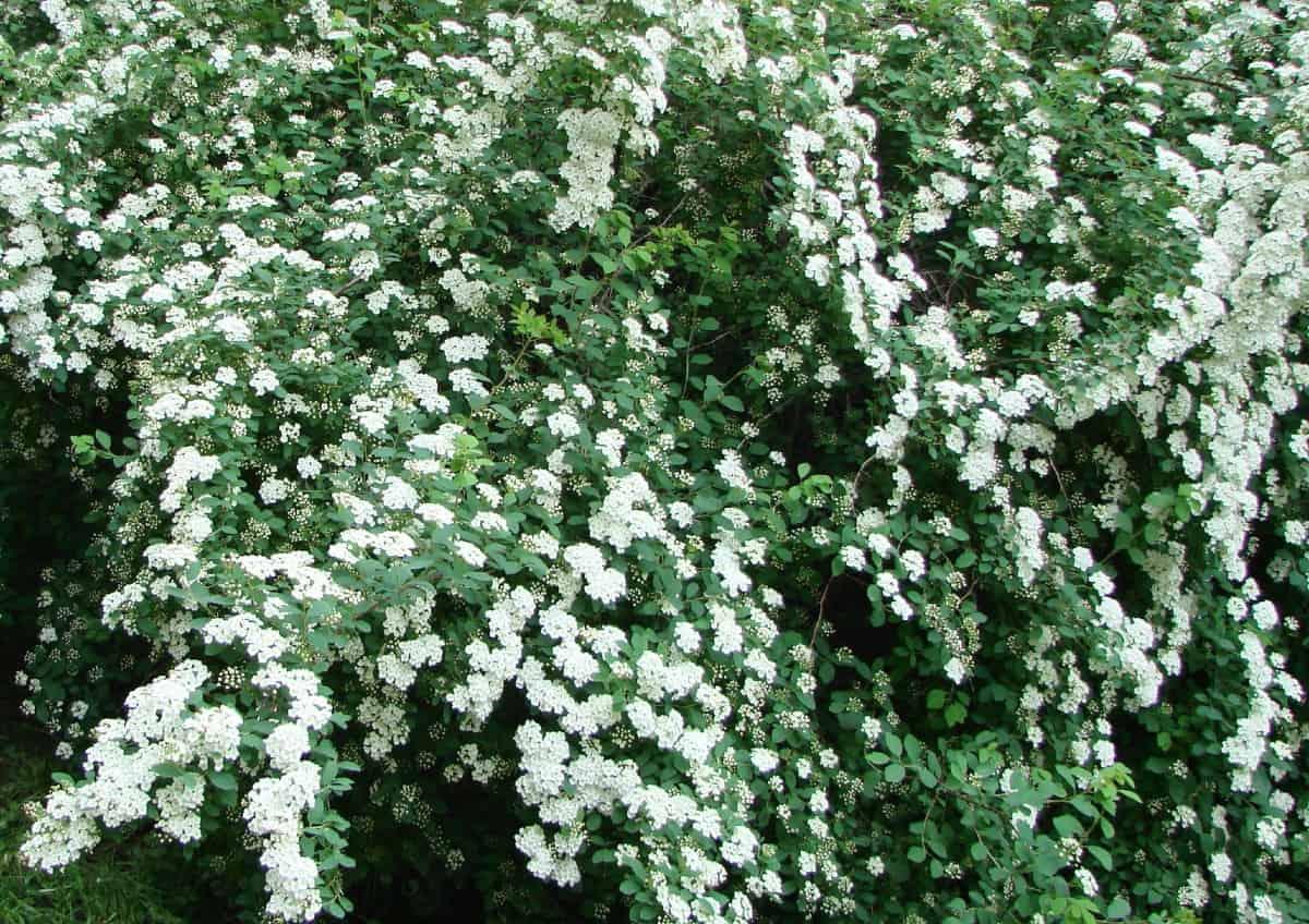 Bridal leaf spirea is an easy-to-grow flowering bush.