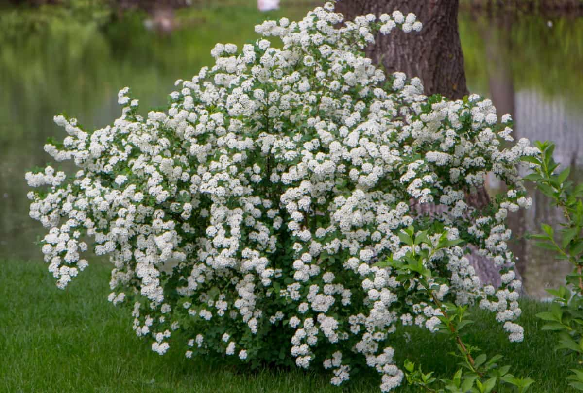 The branches of the bridal wreath spirea have a lovely arching habit.