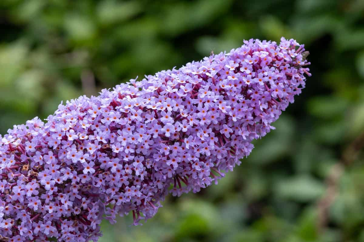 Pollinators love the butterfly bush.