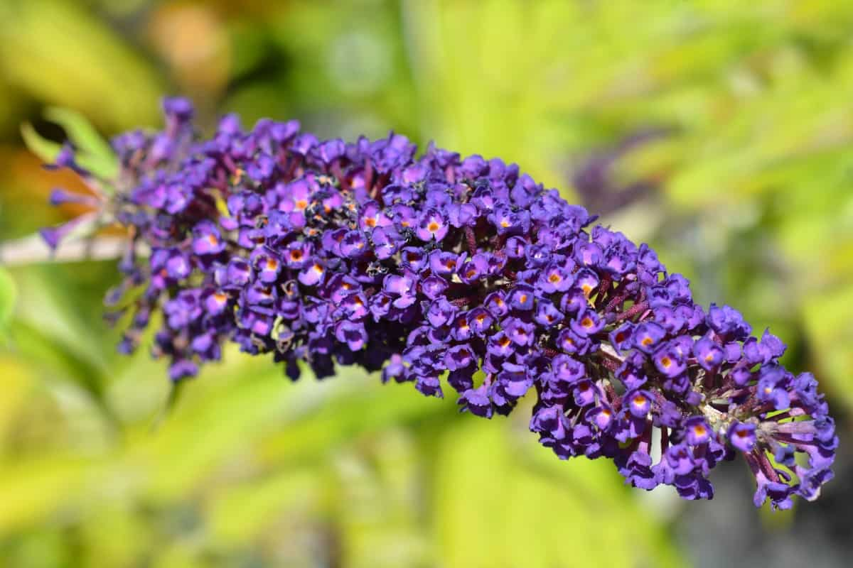 Butterfly bushes attract butterflies and other pollinators.