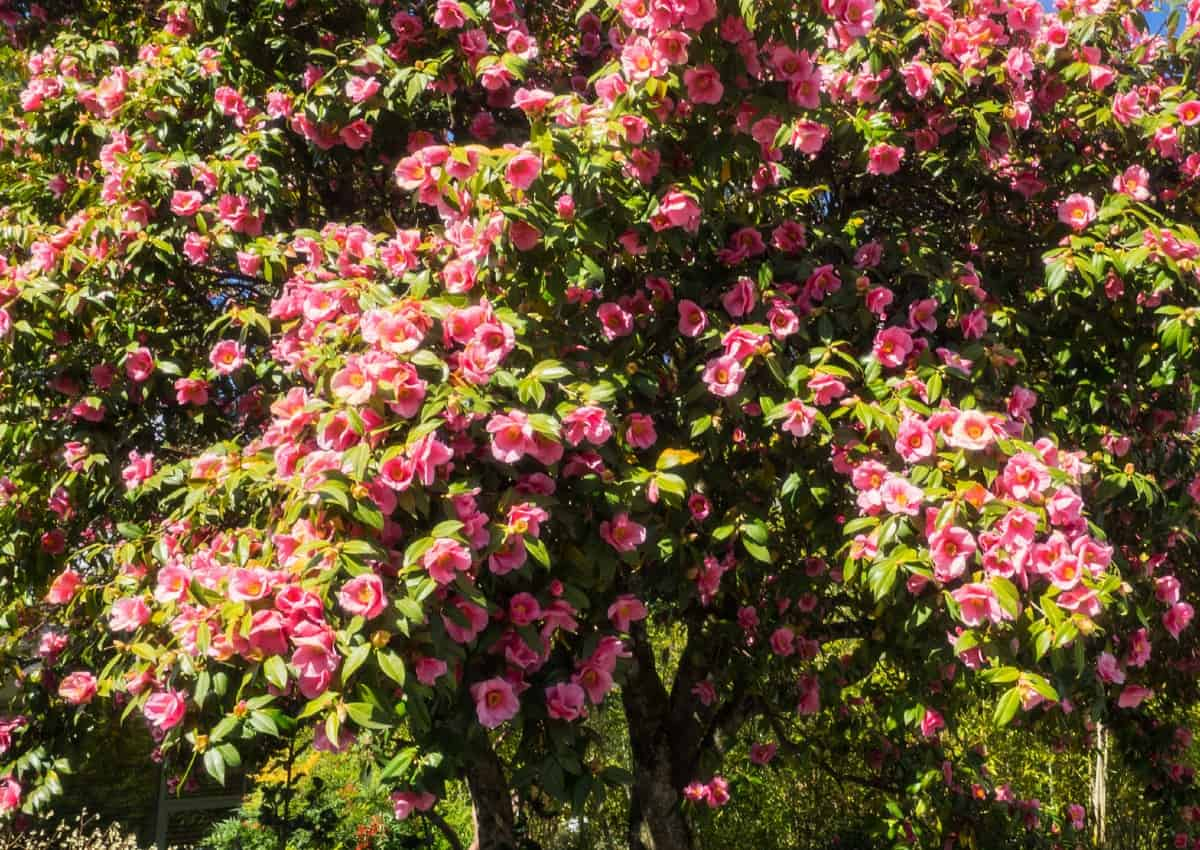 The camellia is an evergreen flowering shrub.