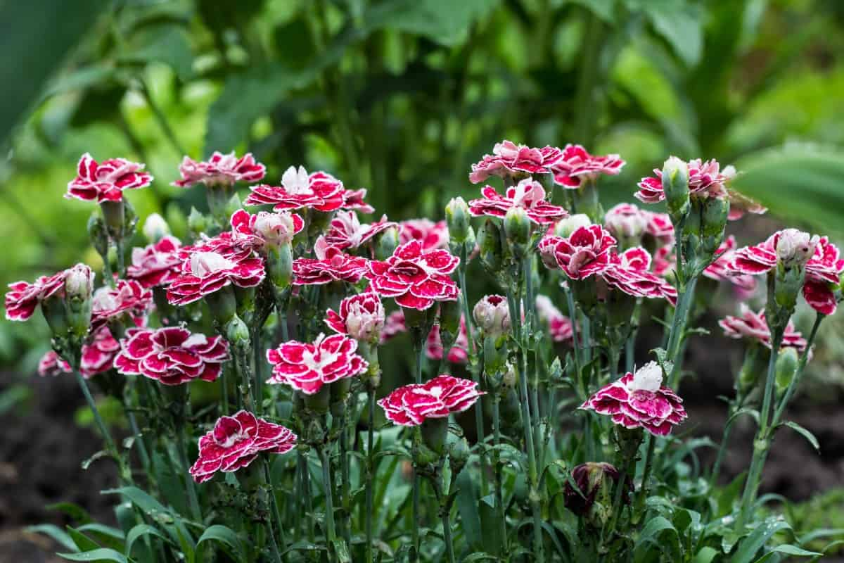 Carnations bloom in late spring.