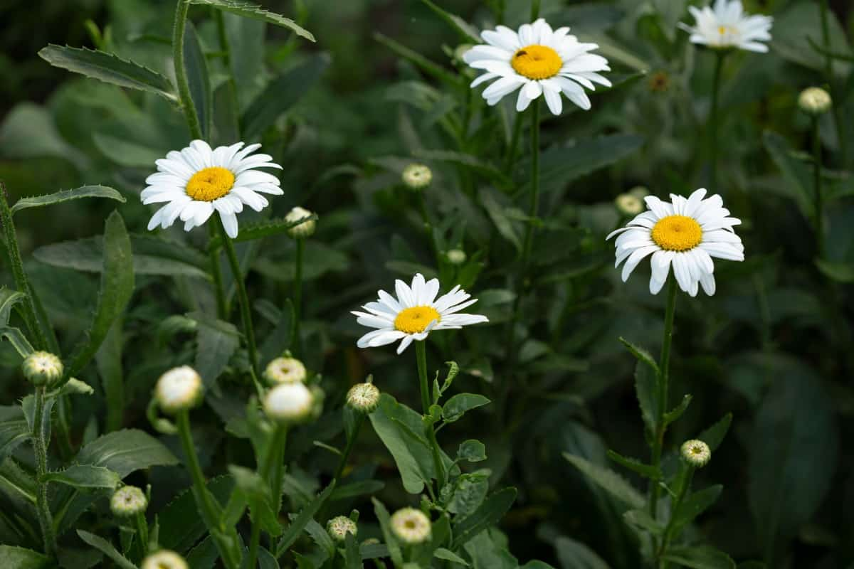 Chamomile is used to make a calming tea.