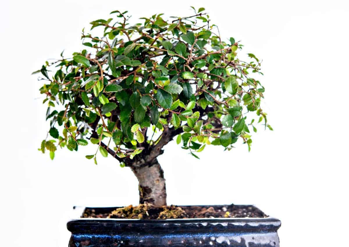 Chinese elm bonsai require well-draining soil.