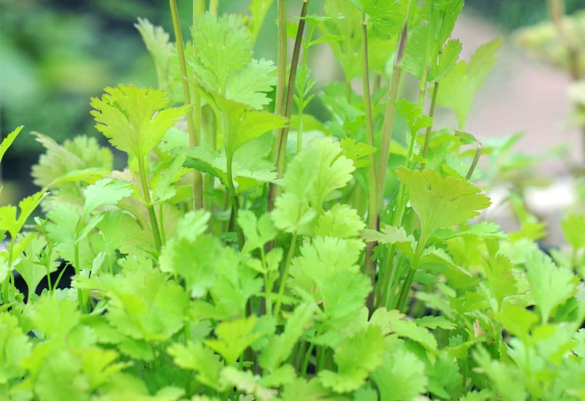 Cilantro is a fast-growing herb for spring planting.