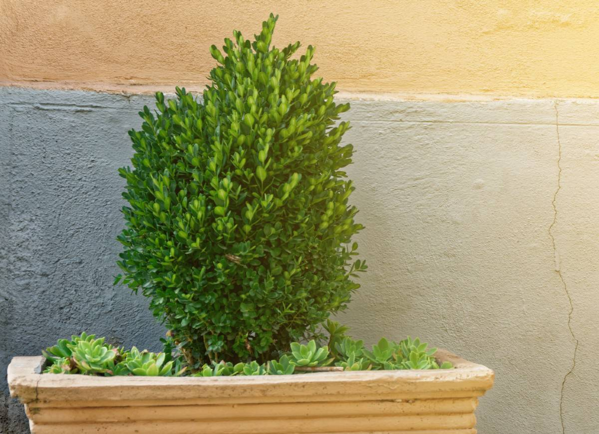The common boxwood bonsai is poisonous.