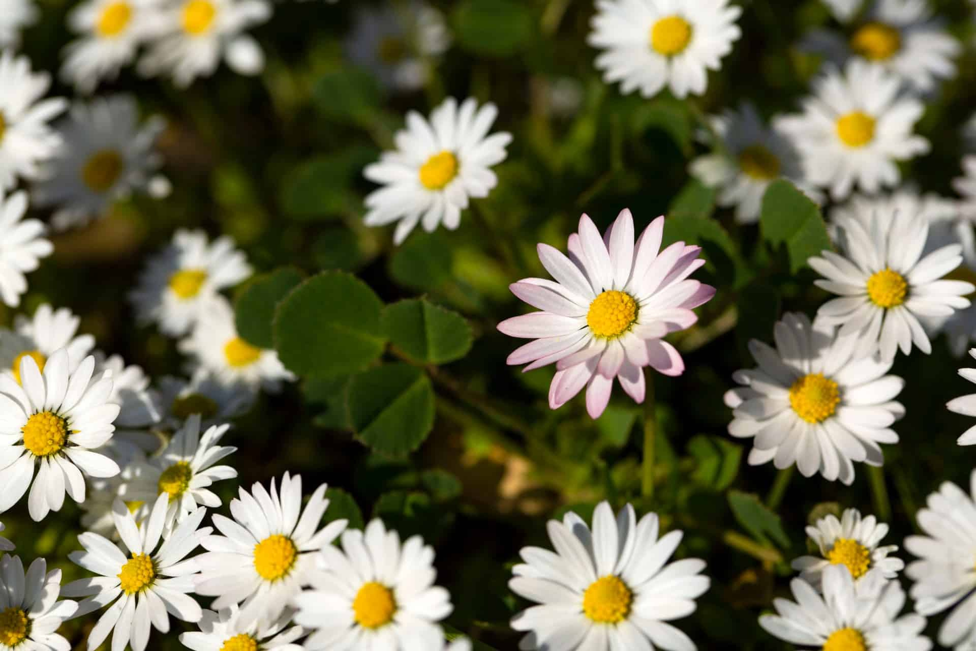 The common daisy is both easy to grow and long-blooming.