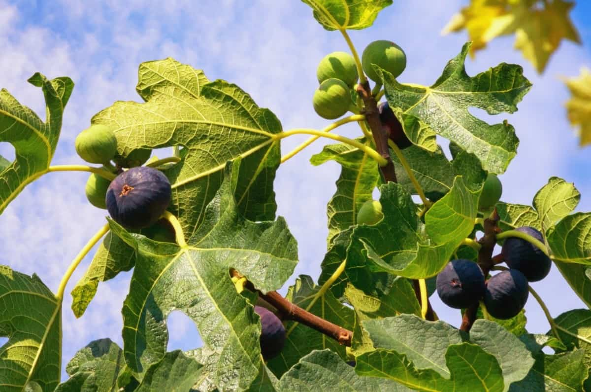 The juice of a common fig can irritate the skin.