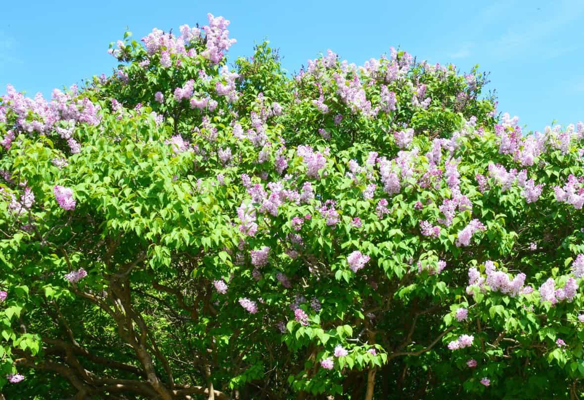 The common lilac bush has a pleasant fragrance.
