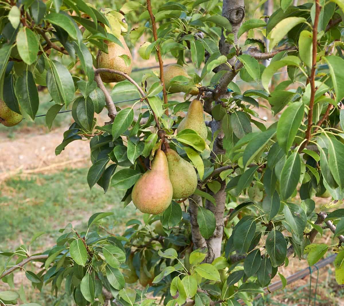 It takes 3-10 years for a common pear tree to produce fruit.
