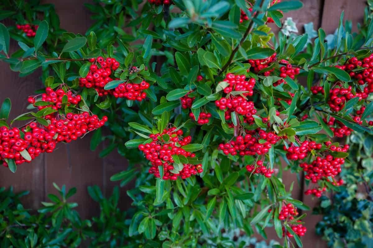 The cotoneaster is a low-maintenance shrub.