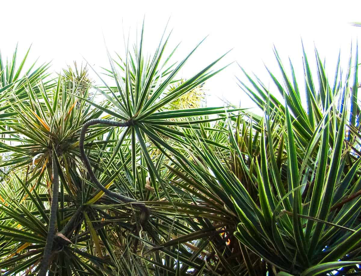 Dragon trees are very hardy and are excellent for air quality improvement indoors.