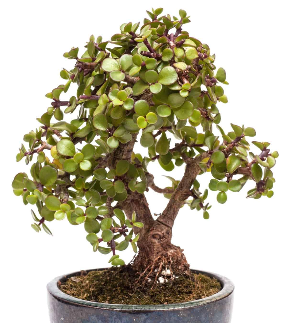 The dwarf jade is a succulent bonsai tree.