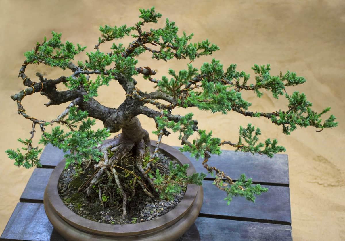 The dwarf Japanese garden juniper is an evergreen with blue-green needles.