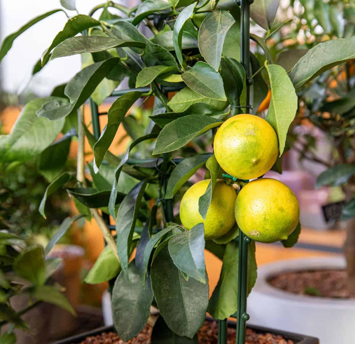 Grow a dwarf lemon tree inside for fruit all year.