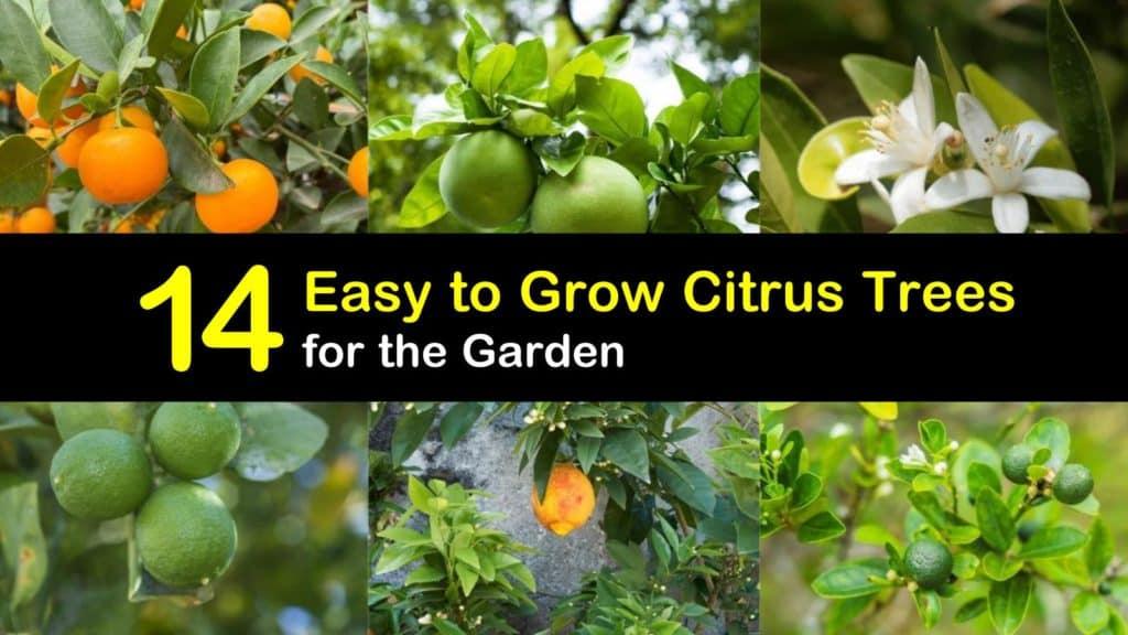 Easy to Grow Citrus Trees titleimg1