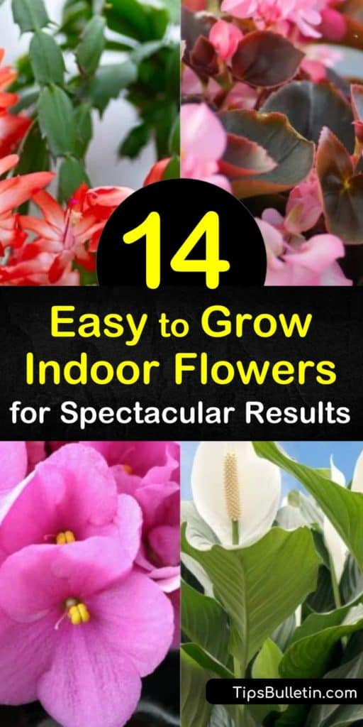 Add color to your indoor spaces using easy to grow indoor flowers like the begonia. Try a Christmas Cactus for a non-toxic alternative to festive plants. Incorporate bromeliads and peace lilies in areas with bright, indirect light to help your flowers thrive. #easy #grow #indoor #flowers #plants