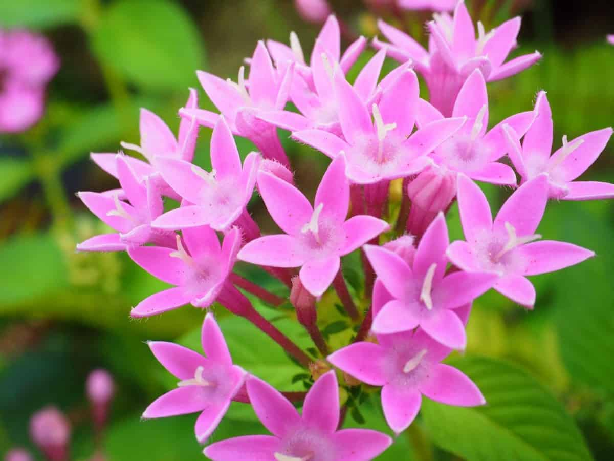 The Egyptian star flower gets its name because of the arrangement of the petals.