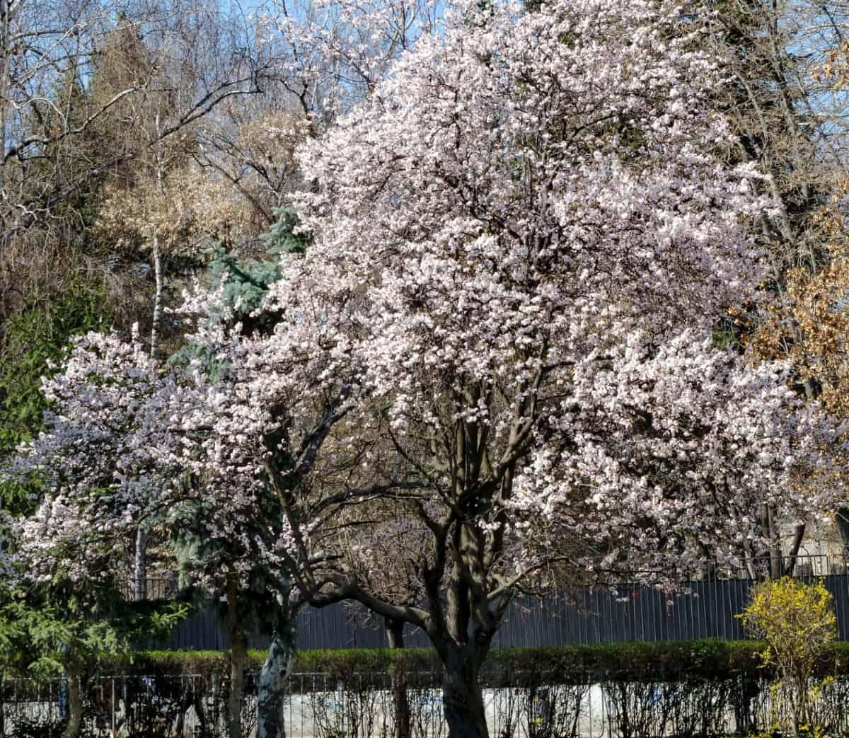European plum trees provide delicious fruit.