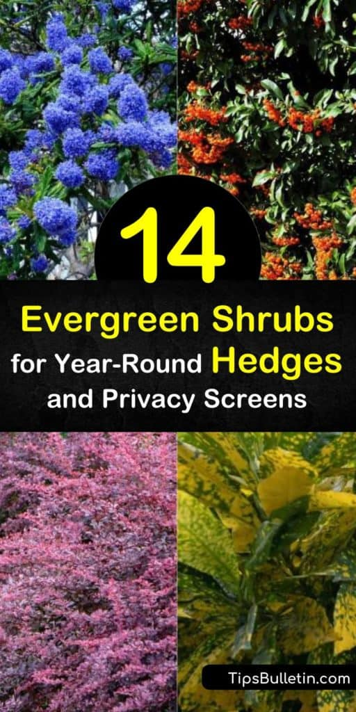 Learn how to create a privacy screen with evergreen shrubs. Plant rows of yew, California lilac, thuja plicata, viburnum, boxwood, privet, and other fast-growing shrubs and evergreen bushes and enjoy beauty and privacy all year round. #evergreen #hedges #shrubs
