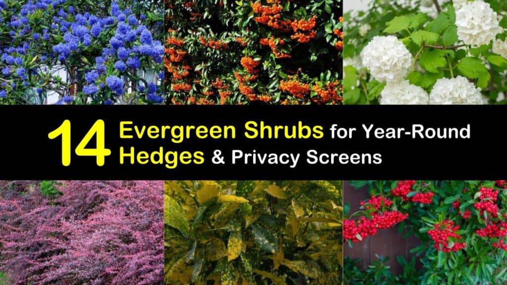 Evergreen Shrubs for Hedges titleimg1