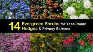 Evergreen Shrubs for Hedges titleimg1