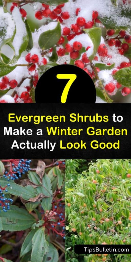 Discover evergreen shrubs that charm in the winter. The David viburnum offers year-round pleasure with white flowers in the spring, then blue berries into the winter. Like Japanese boxwood, its green foliage changes color in the winter, while ilex bears red berries. #shrubs #evergreen #winterfoliage