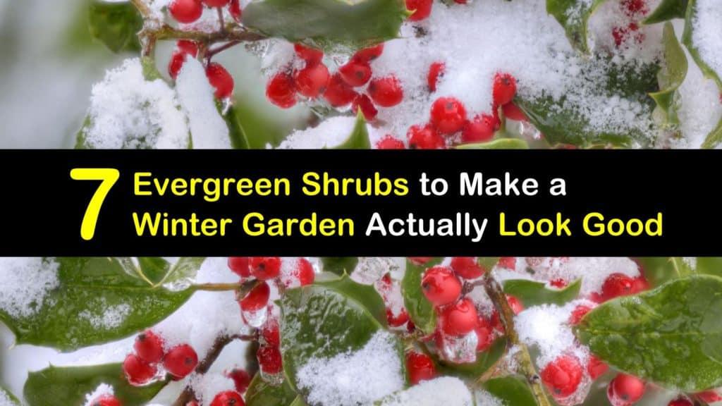 Evergreen Shrubs with Winter Foliage titleimg1