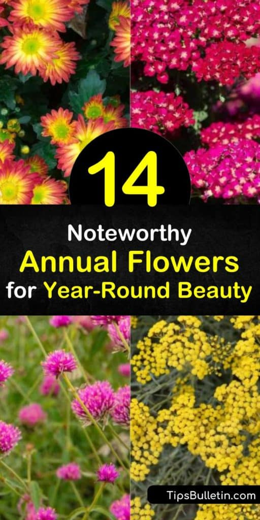 Discover how to enjoy flowers in the garden and in the home by planting everlasting annuals. Grow zinnia, globe amaranth, pansy, cockscomb, statice, helichrysum, and other annual plants and create dry flower bouquets. #everlasting #annuals #flowers