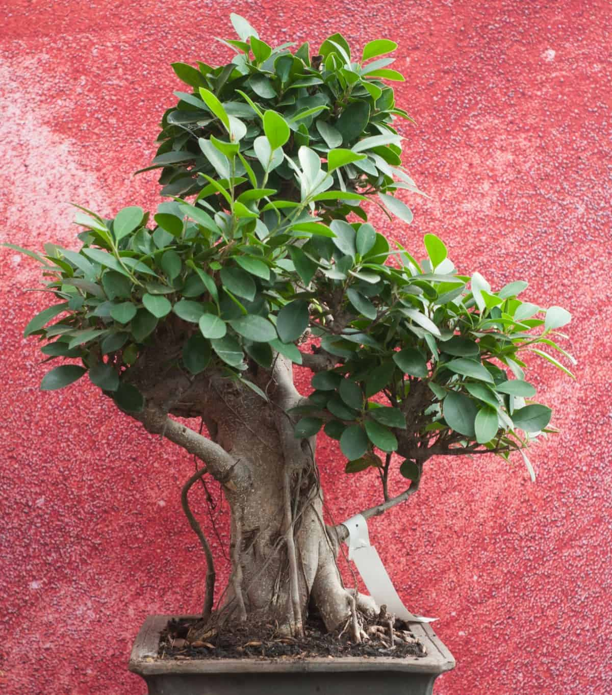 The ficus is the best bonsai for beginners.