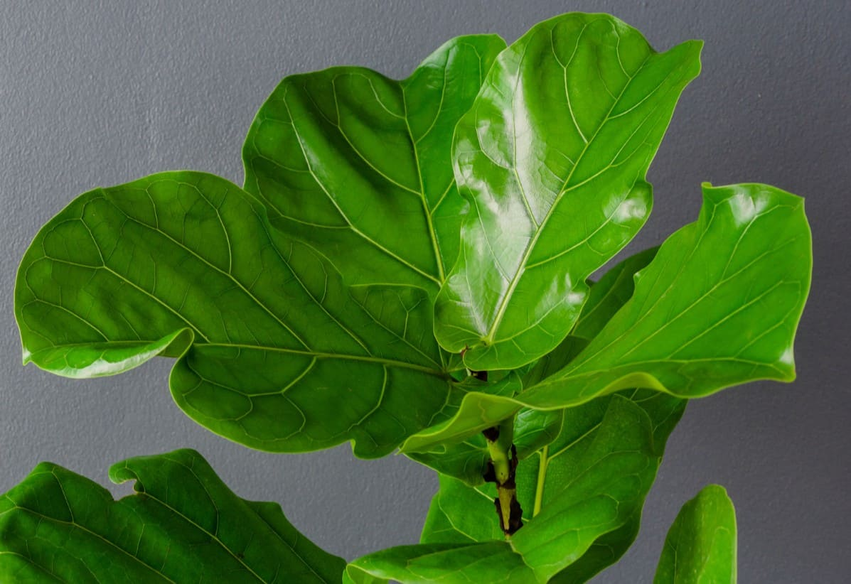 The fiddle leaf fig tree is easy to grow inside.