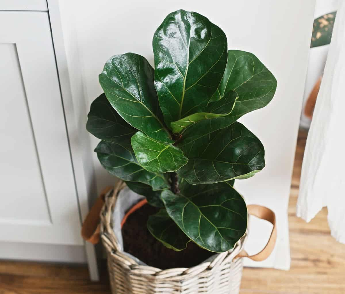 Fiddle leaf fig plants are ideal for apartment living.