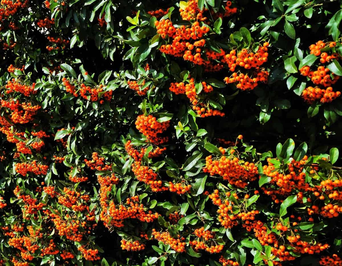 Firethorn is best known for its brightly-colored fruit and its thorns.