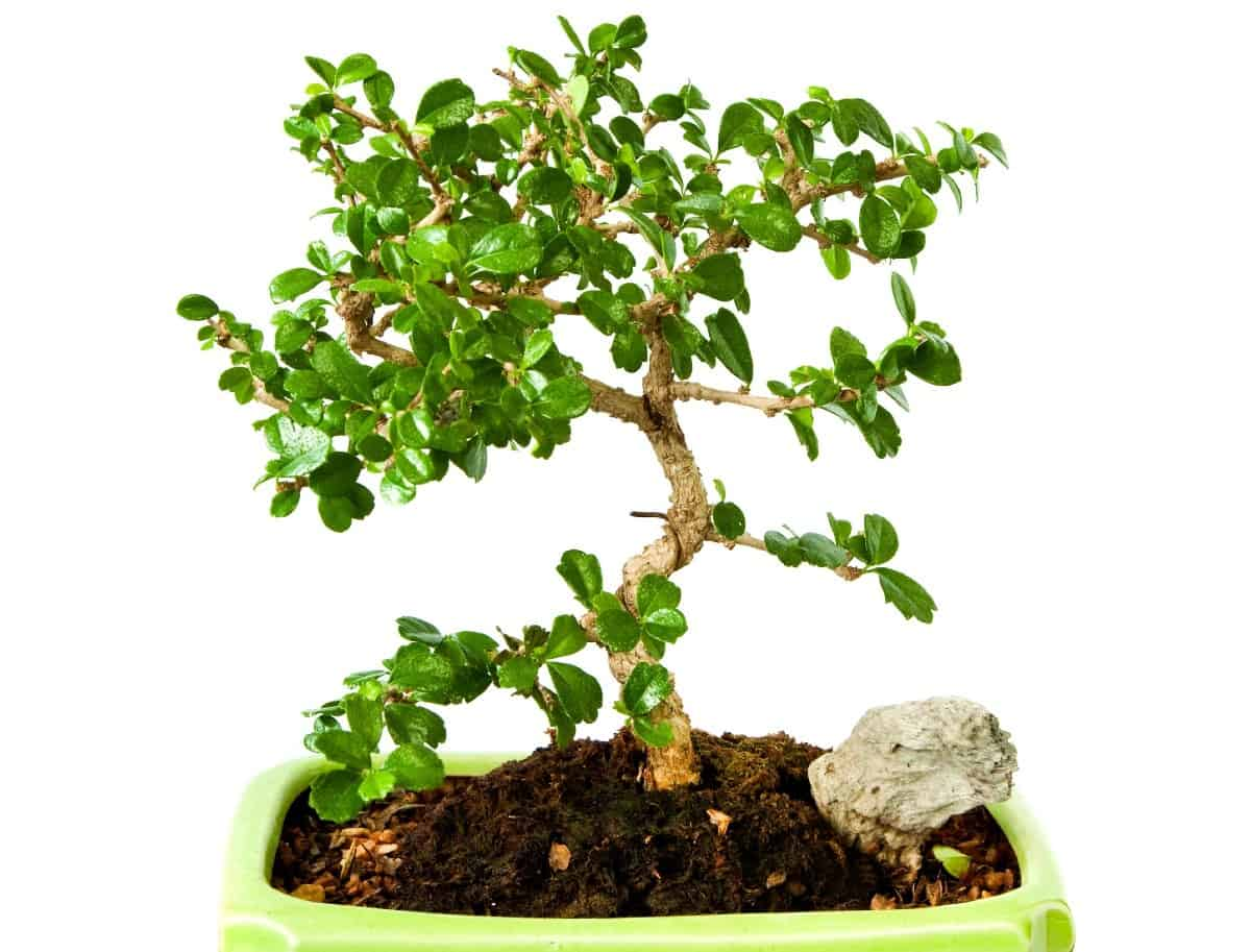 Fukien tea bonsai trees have unusual leaves.