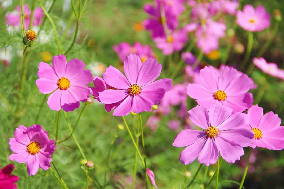 Garden cosmos blooms in summer and fall.