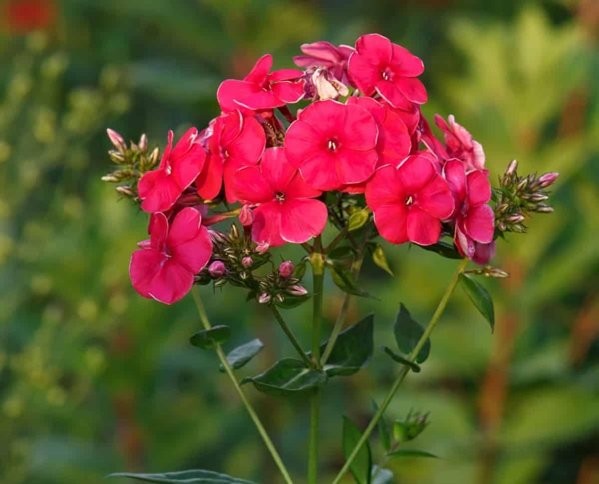 Garden phlox is a fragrant perennial.