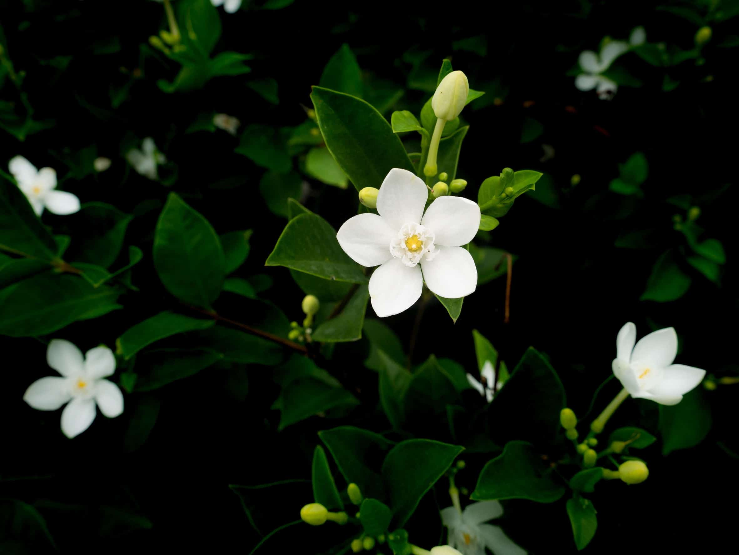 Gardenias are creamy white flowers.