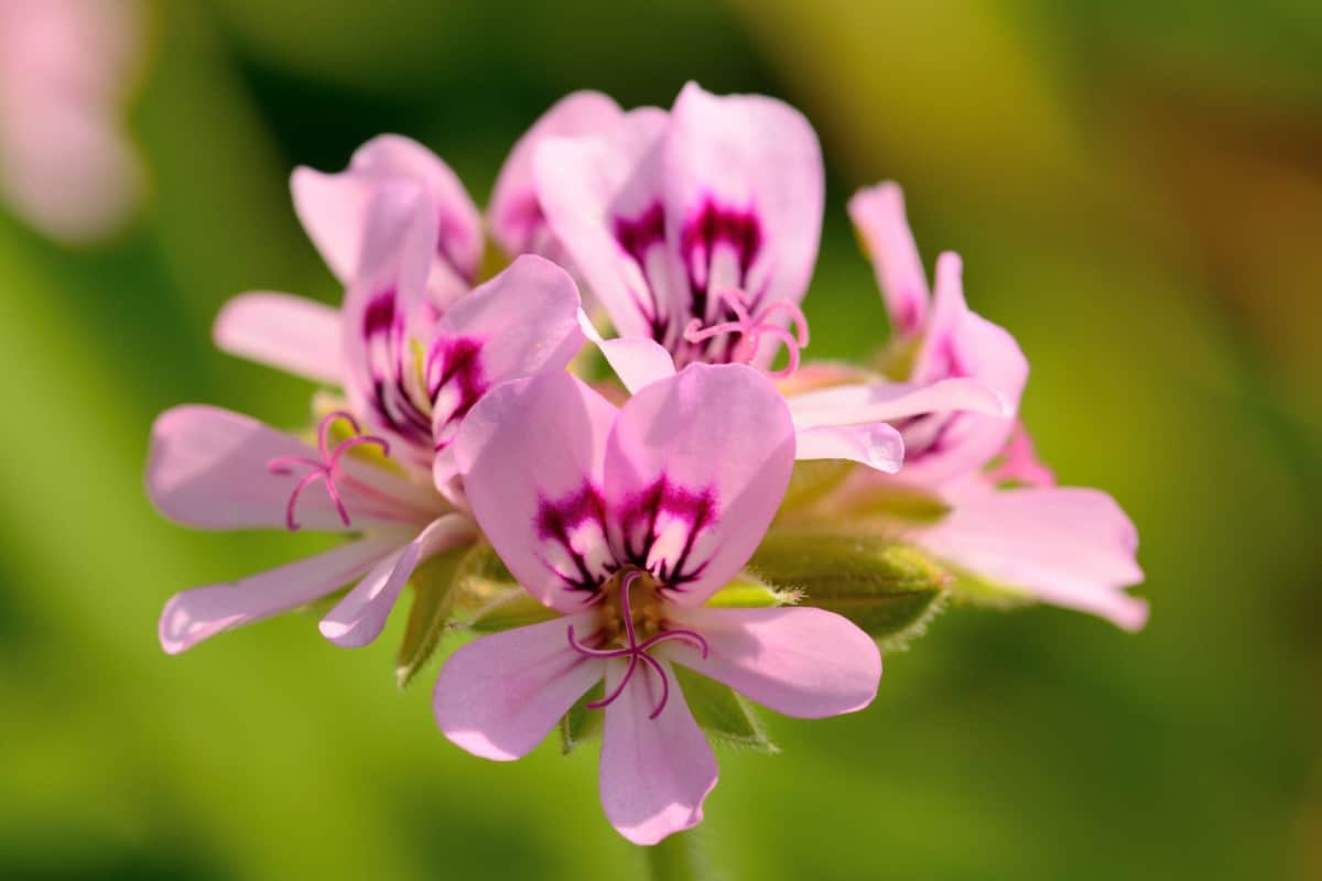 Geraniums are drought-tolerant and come in a variety of scents.