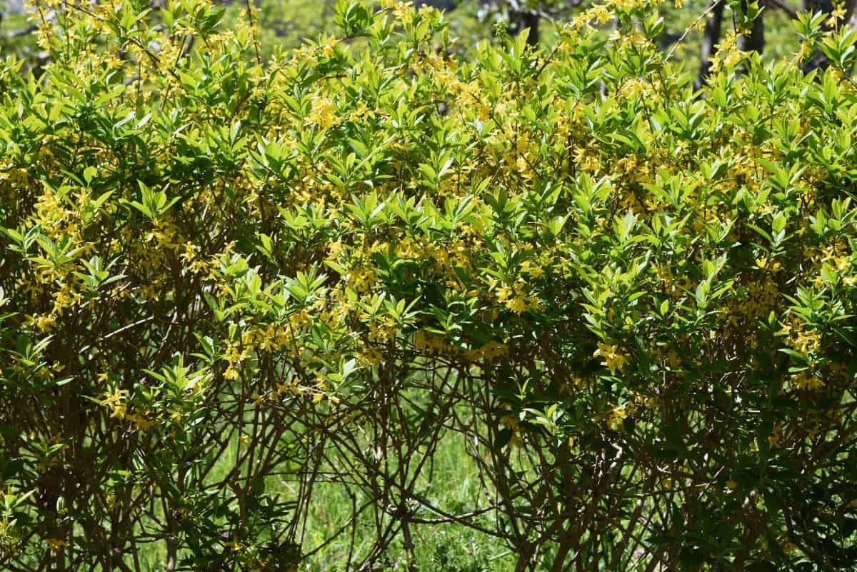 The golden bell forsythia is part of the olive family.