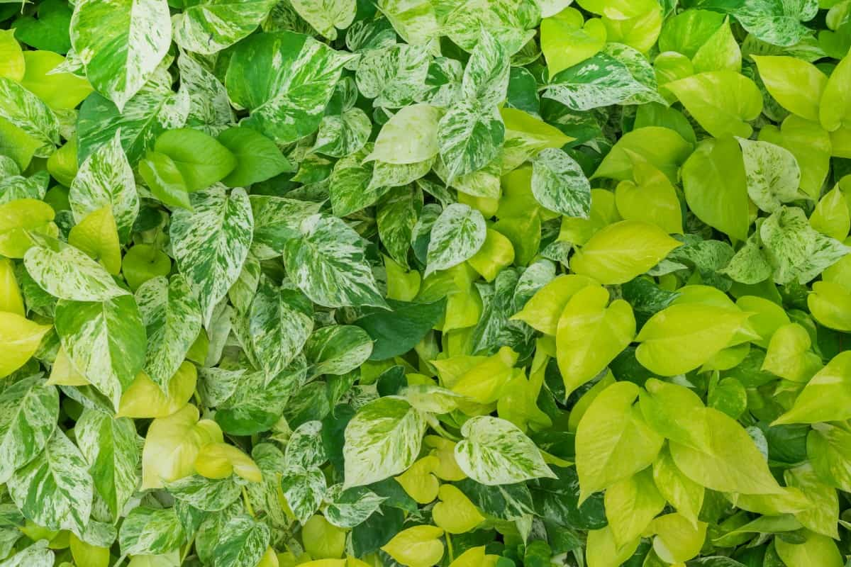 Golden pothos is an attractive, variegated plant that can liven any room.