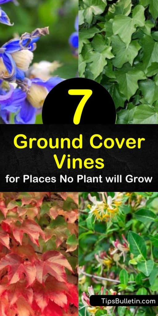 Try vines like clematis to fill in difficult areas in your garden. These low-maintenance ground cover plants—such as periwinkle, Virginia creeper, and variegated English ivy—grow easily even in partial shade. #vines #groundcovers #groundcovervines