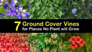 Ground Cover Vines titleimg1