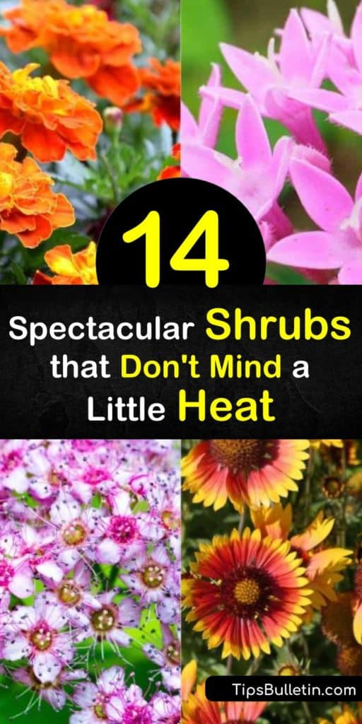 Try amazing heat tolerant shrubs that are resistant to drought, humidity, and dry soil. Need a plant that withstands the summer heat? Lantana and blanket flowers love to soak up the sun. Many of these heat tolerant shrubs thrive in USDA zone 9-11 and are low maintenance. #heat #tolerant #shrubs