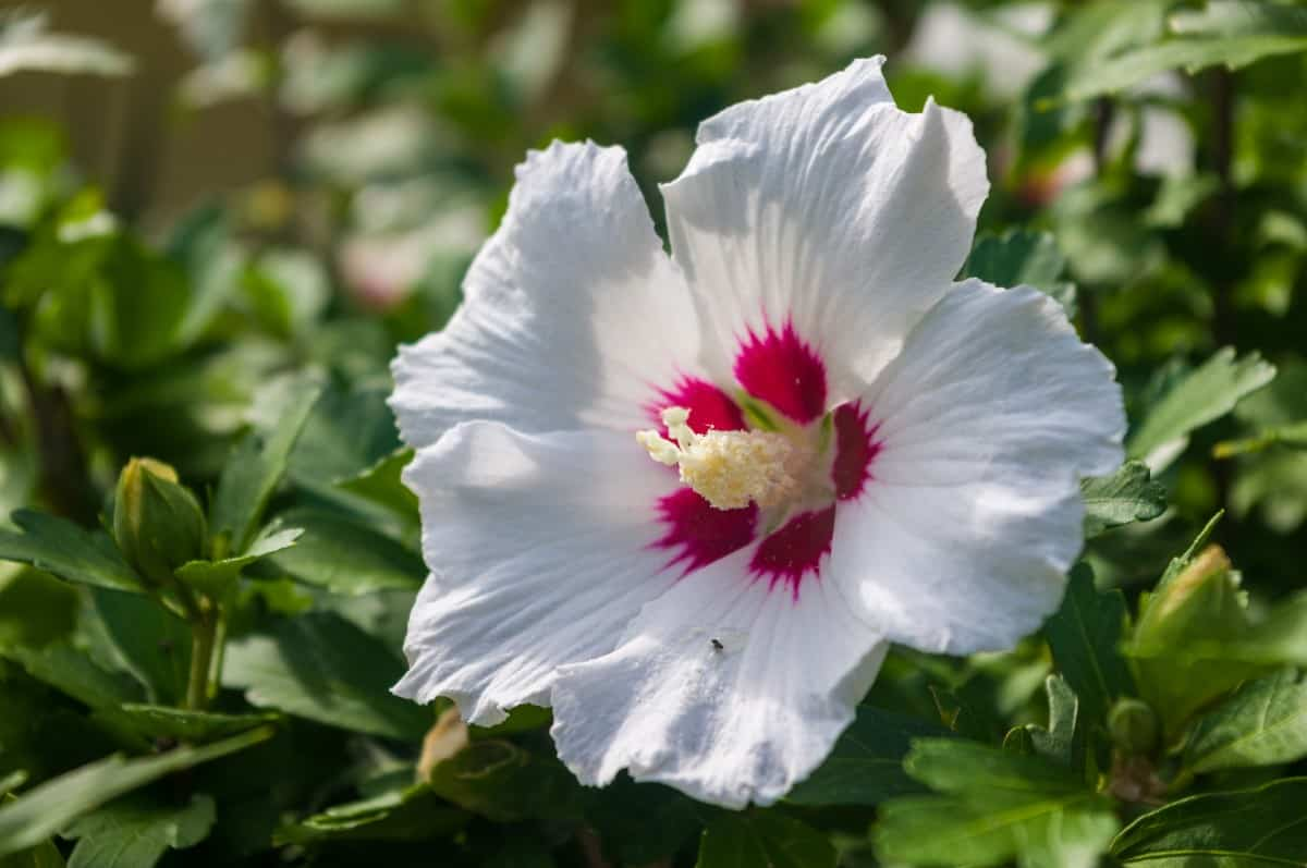 The hibiscus is a low maintenance shrub.