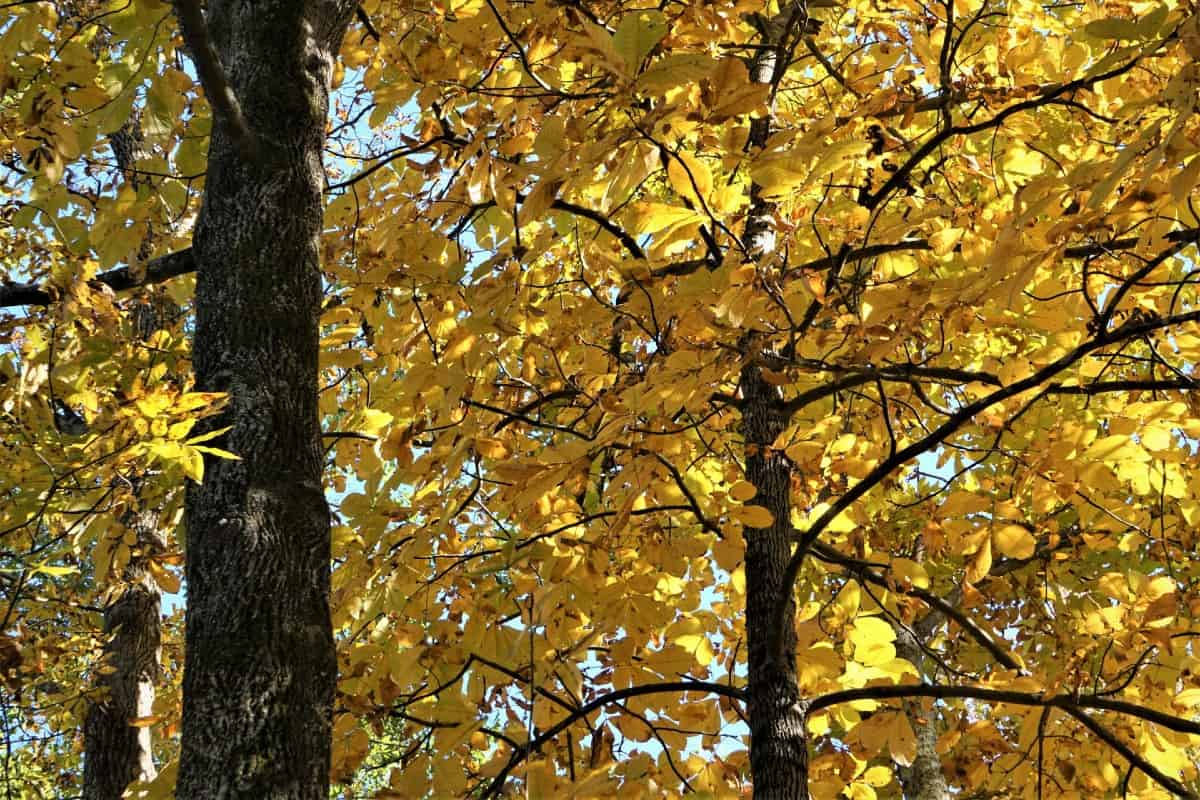 It takes 15 years for hickory trees to produce nuts.