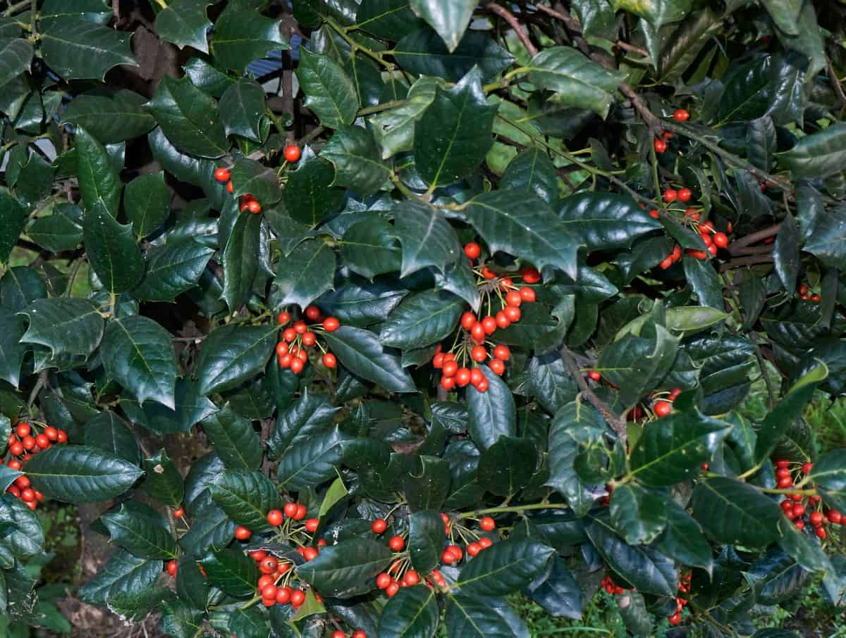 Holly bushes come in many different varieties.
