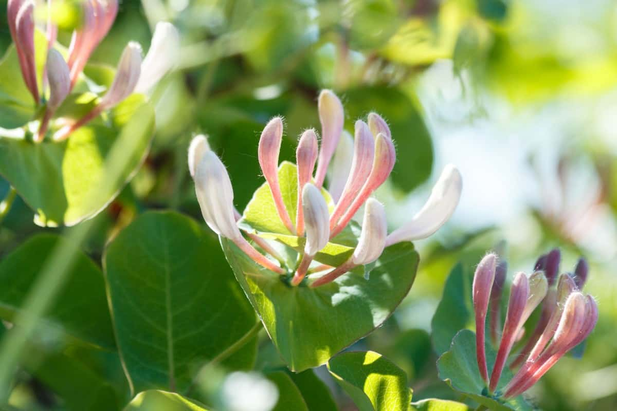 Honeysuckle is a low-maintenance plant.