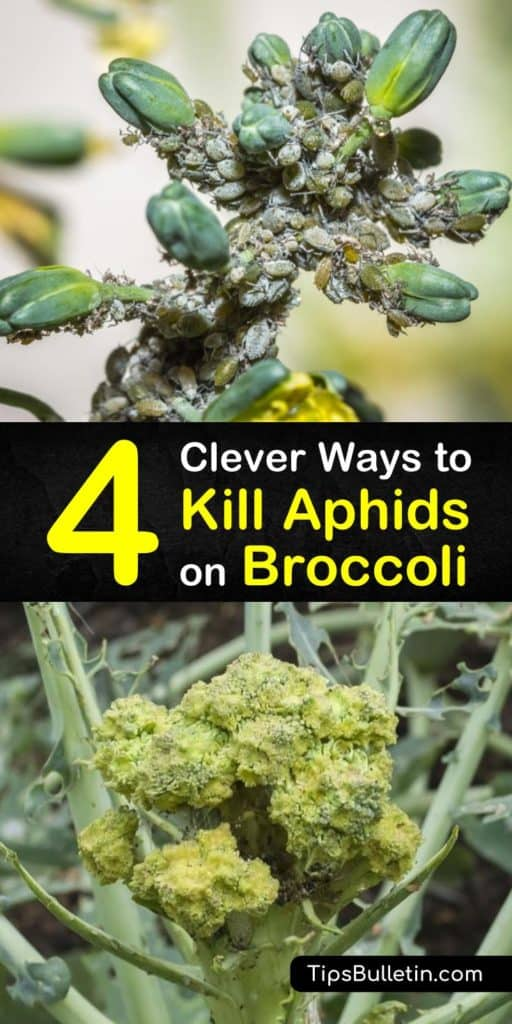 Get rid of garden pests for good with these natural ways to kill aphids. This list of infestation remedies includes introducing beneficial insects like ladybugs and lacewings, the use of neem oil, and how to use a spray bottle and soap to protect your kale and cauliflower. #aphids #broccoli